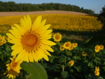 Sunflower season in the Gers